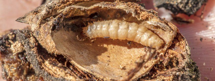 navel orangeworm