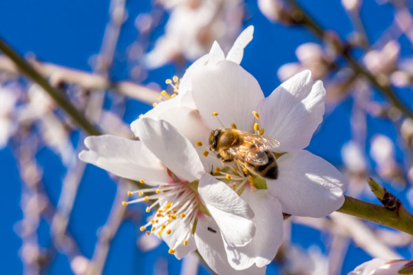 A bee pollinating an almond blossom
