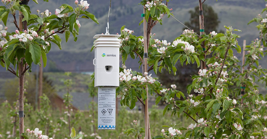 A Semios pheromone that tracks climatic data hanging in an apple orchard at bloom