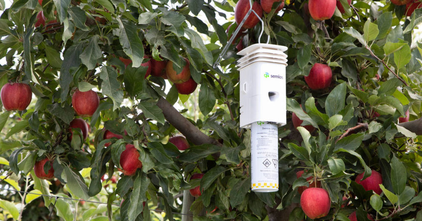 A Semios Pheromone Aerosol Dispenser hanging in an apple orchard