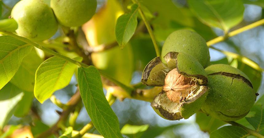 Split hulls on a walnut tree