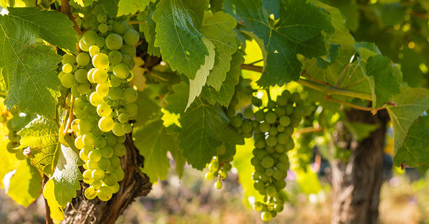 Clusters of grapes in a grapevine