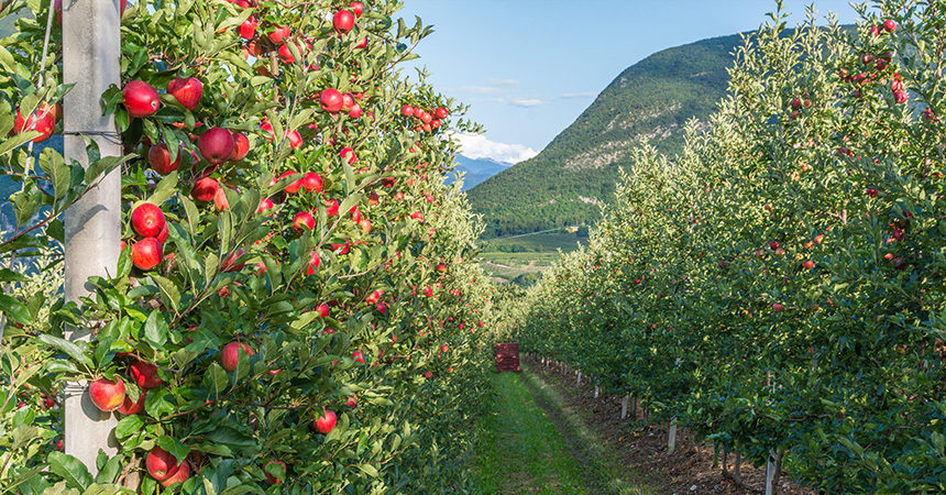 An apple orchard in Italy