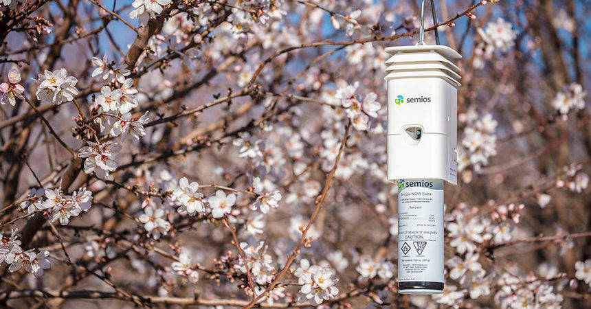 Semios dispenser hanging in an almond orchard at full bloom
