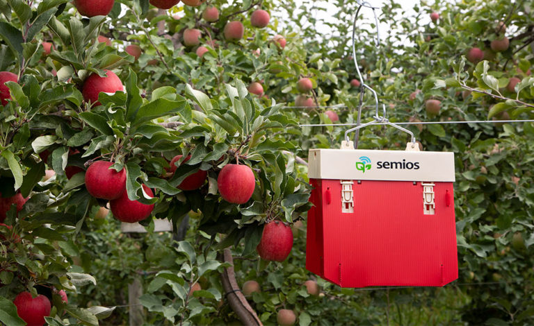 A red Semios automated camera trap hanging in an apple orchard