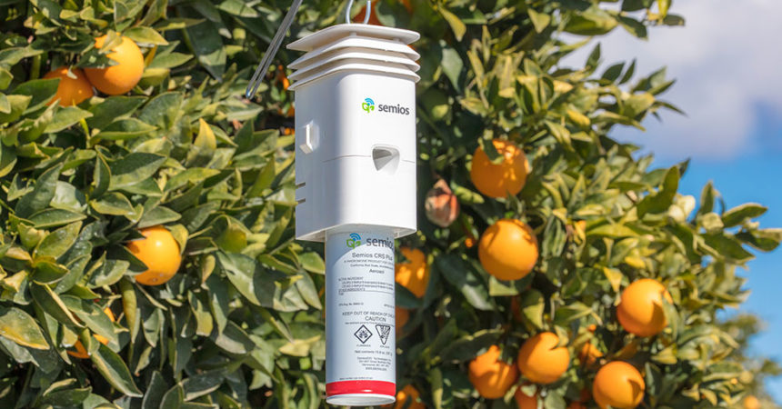 A Semios Pheromone Aerosol Dispenser hanging in a citrus orchard