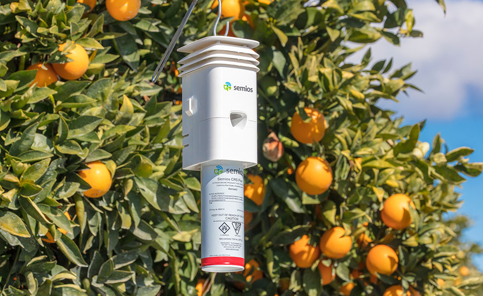 A Semios pheromone dispenser hanging in a citrus orchard
