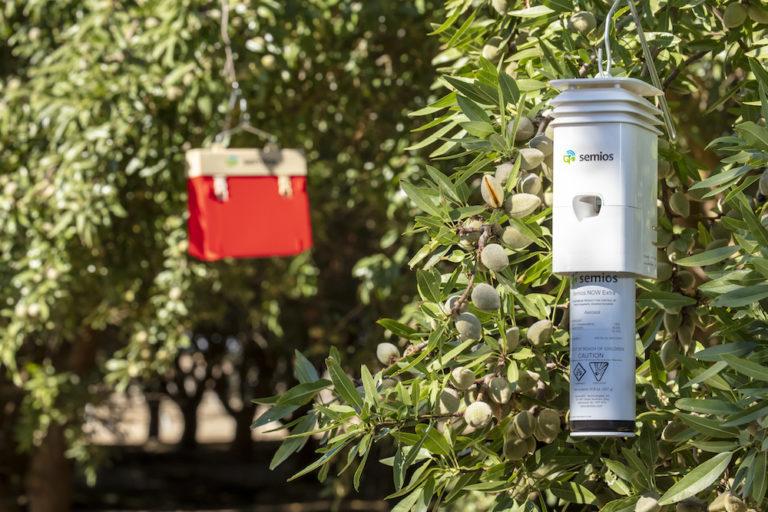 Semios pheromone dispenser in an almond orchard